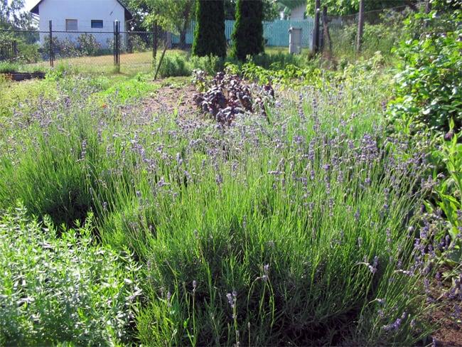 Igen változatos a gyógynövényes kert