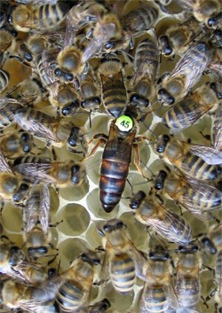 Krajnai méhanya és udvara bio minőségű lépen