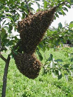 A méhanya nevelése, tenyésztés