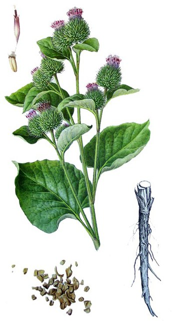 2. kép. Közönséges bojtorján (Arctium lappa)