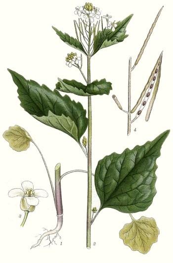 4. kép. Kányazsombor (Alliaria petiolata)