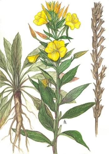 Ehető gyomnövények