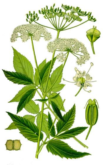 5. kép. Podagrafű (Aegopodium podagraria)