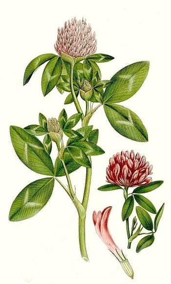 7. kép. Vörös here (Trifolium pratense)