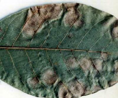A gnomóniás betegség barna foltjai diólevélen