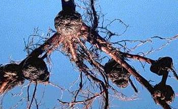 Az agrobaktériumos gyökérgolyva tumorai dió gyökérzetén