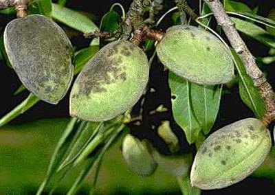 Ventúriás varasodás barnás-fekete foltjai mandula termésén