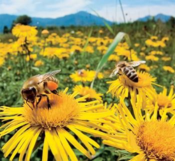 A méhek és a neonikotinoid alapú növényvédő szerek