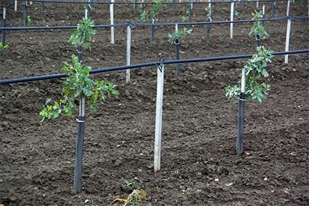 A mikorrhizált csemeték telepítés utáni ápolása nemcsak a gyomkonkurencia eltávolítását, de az ésszerű öntözést és az egyedi védelem kialakítását is magába foglalja