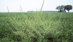 Vesztésre állnak az amerikai termelők a rezisztens gyomok elleni harcban
